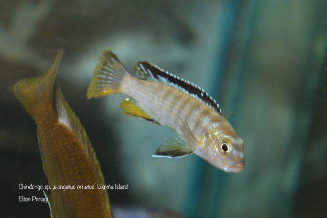 Chindongo sp. ,elongatus ornatus'