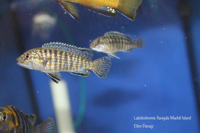 Labidochromis flavigulis Machili Island