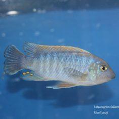 Labeotropheus fuelleborni (20)