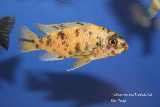 Tropheops tropheops Makokola Reef(OB samice)