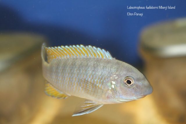 Labeotropheus fuelleborni Mbenji (samice)