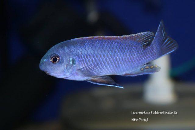 Labeotropheus fuelleborni Makanjila  (samec)