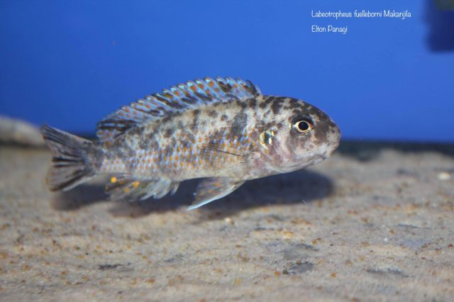 Labeotropheus fuelleborni Makanjila (OB samice)