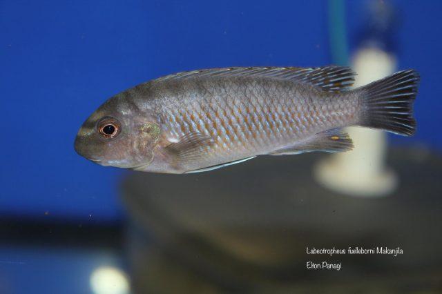 Labeotropheus fuelleborni Makanjila (samice)