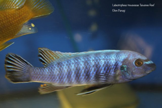 Labeotropheus trewavasae Taiwanee Reef (samec)
