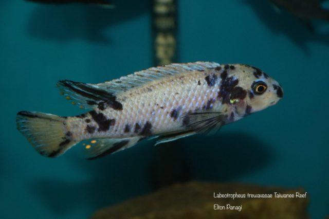 Labeotropheus trewavasae Taiwanee Reef (MC samec)