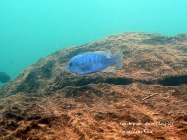 Labeotropheus fuelleborni  New Reef