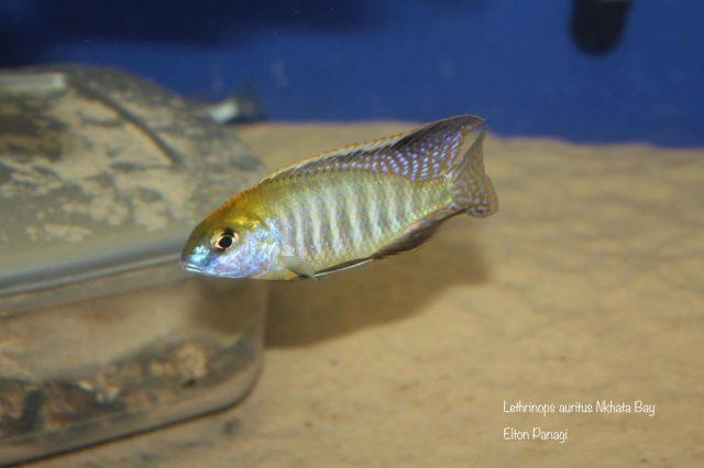 Lethrinops microstoma Nkhata Bay (samec)