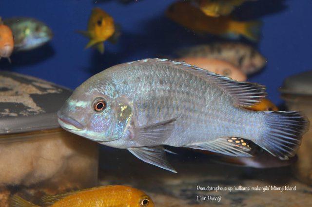 Pseudotropheus sp. ,williamsi'