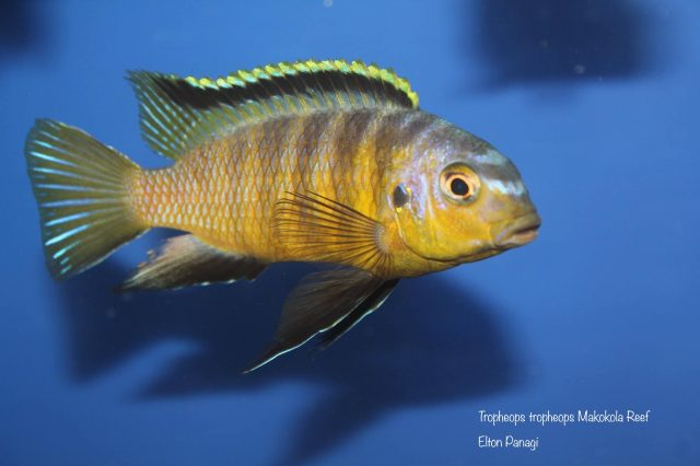 Tropheops tropheops Makokola Reef(samec)