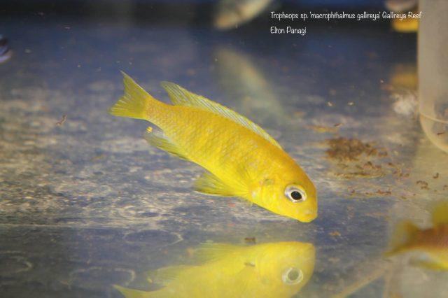 Tropheops sp. ,macrophthalmus gallireya'