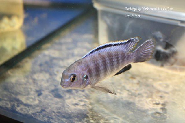Tropheops sp. 'black dorsal' Luwala Reef