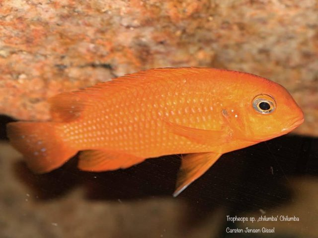 Tropheops sp. 'chilumba' Chilumba (samice)