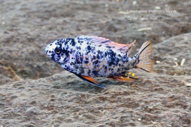 Labeotropheus artatorostris Mitande (MC samec)