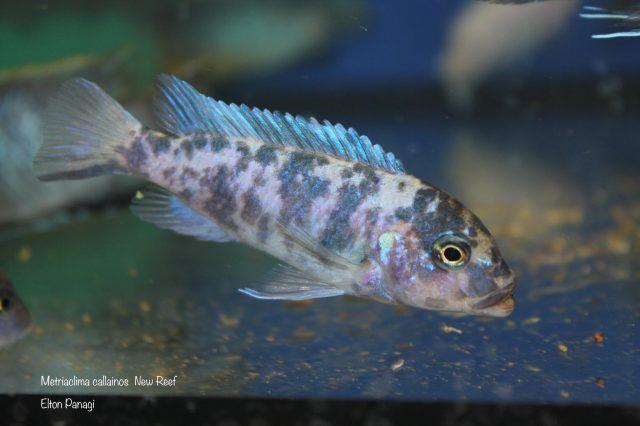 Metriaclima callainos Kambiri Reef (OB samice)
