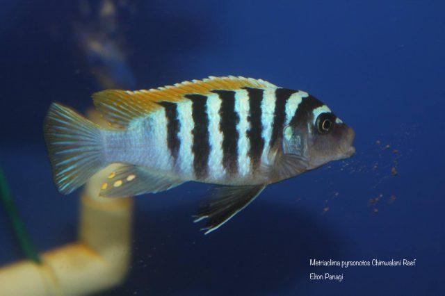 Metriaclima pyrsonotos Chimwalani Reef