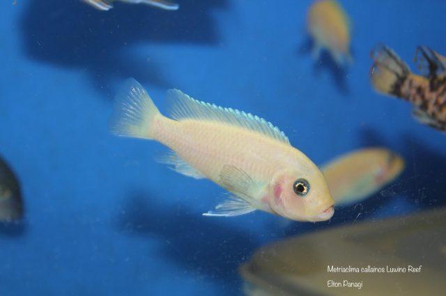 Metriaclima callainos Luwino Reef (O samice)