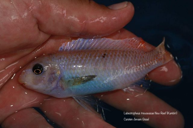 Labeotropheus trewavasae Kambiri Reef