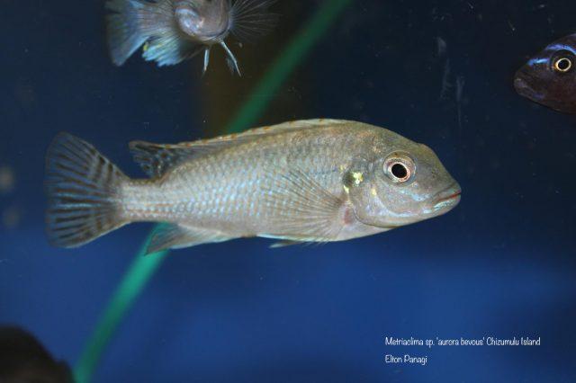 Metriaclima sp. 'aurora bevous' Chizumulu Island (samice)