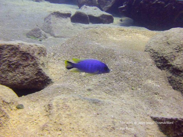 Metriaclima sp. 'aurora bevous' Chizumulu Island