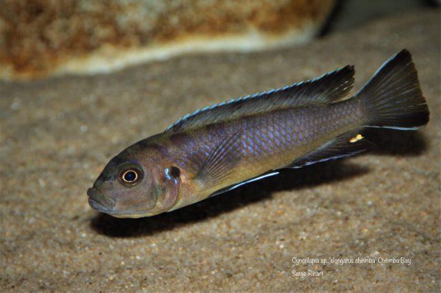 Cynotilapia sp. 'elongatus chitimba' Chitimba Bay (samice)