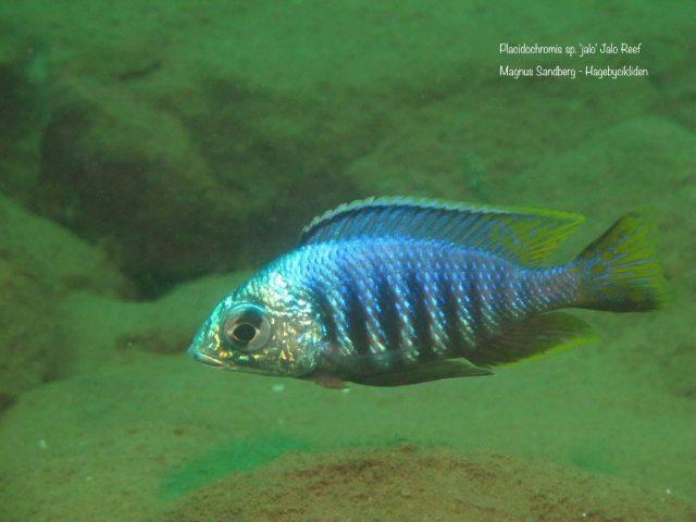 Placidochromis sp. 'jalo'