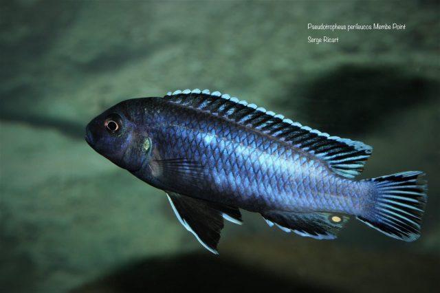 Pseudotropheus perileucos