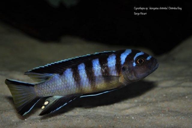 Cynotilapia sp. 'elongatus chitimba'