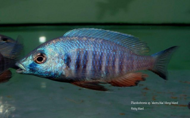 Placidochromis sp. 'electra blue'