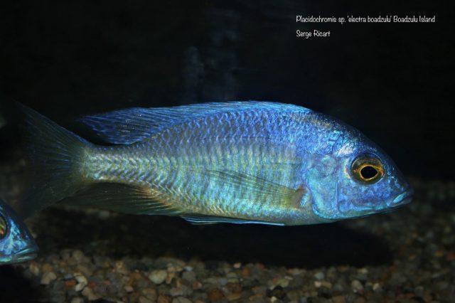 Placidochromis sp. 'electra boadzulu'