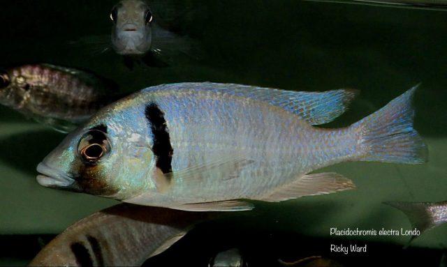 Placidochromis electra Londo