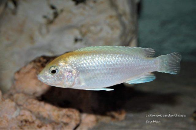 Labidochromis caeruelus Chadagha (samice)