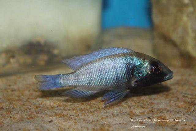 Placidochromis sp. 'phenochilus gissel' Chiofu Bay (samice)