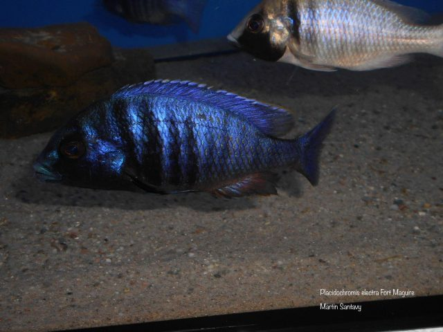 Placidochromis electra Fort Maguire