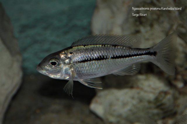 Nyassachromis prostoma Kanchedza Island