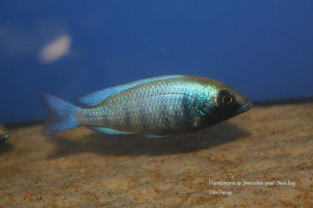 Placidochromis sp. 'phenochilus gissel' Chiofu Bay