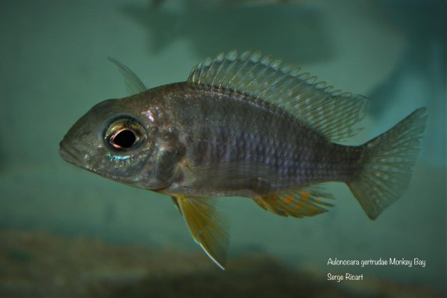 Aulonocara gertrudae Monkey Bay (samice)
