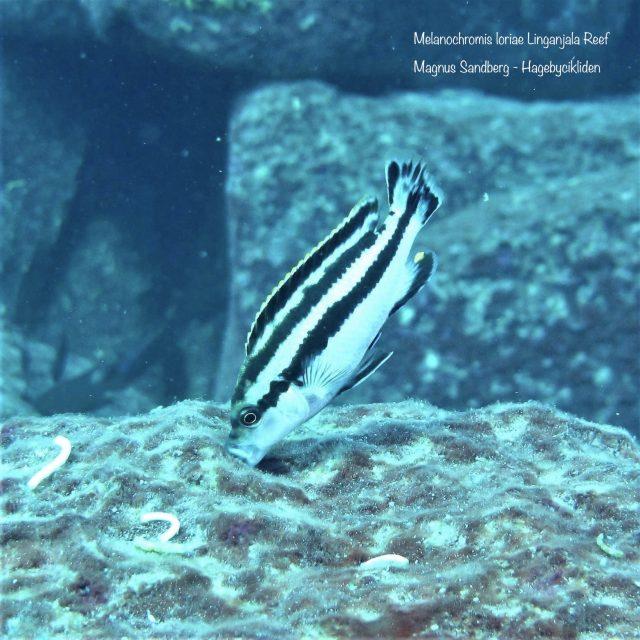 Melanochromis loriae