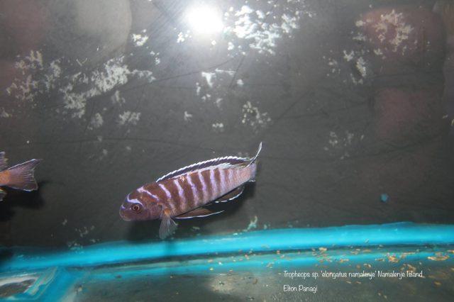 Tropheops sp. ,elongatus namalenje'