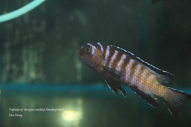 Tropheops sp. ,elongatus'