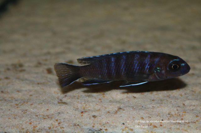 Chindongo sp. 'elongatus masimbwe' (samice)