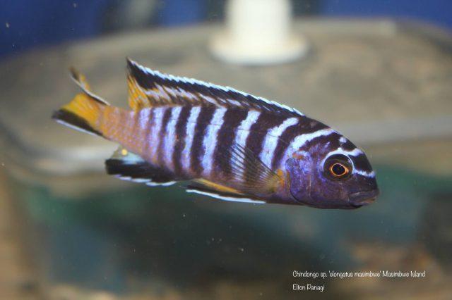 Chindongo sp. 'elongatus masimbwe' (samec)