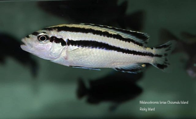 Melanochromis loriae Chizumulu Island
