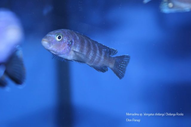 Metriaclima sp. 'elongatus chidunga' (samice)