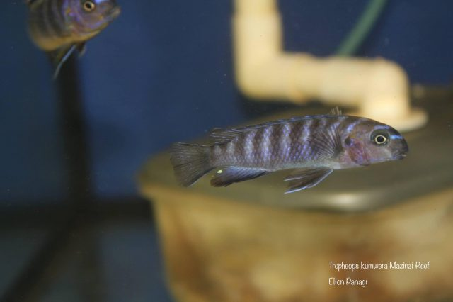 Tropheops kumwera Mazinzi Reef (samice)