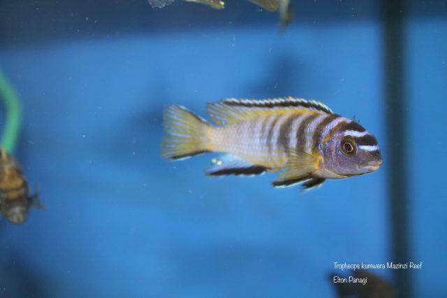 Tropheops kumwera Mazinzi Reef