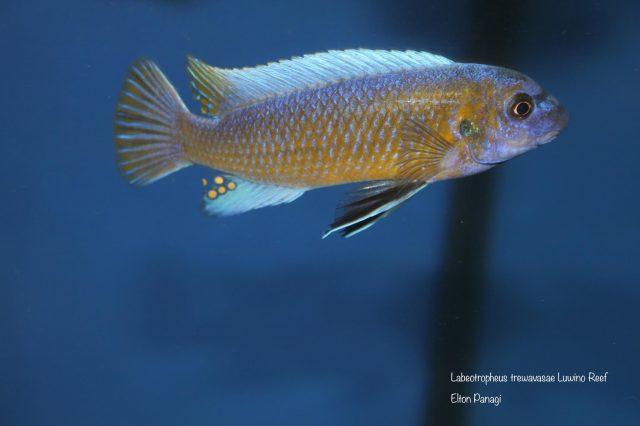 Labeotropheus trewavasae Luwino Reef