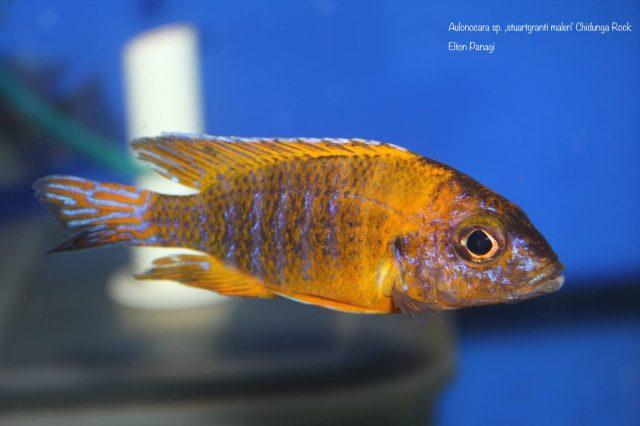 Aulonocara sp. 'stuartgranti maleri' (samec)