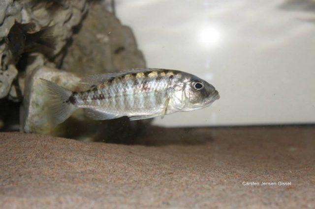 Sciaenochromis sp. 'nyassae' (samice)