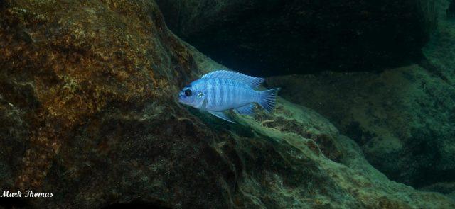 Labidochromis gigas